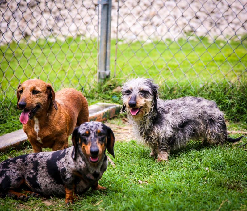 All About Doxies