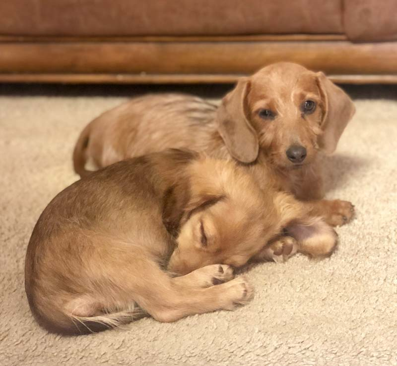 About (S Kennels Doxie